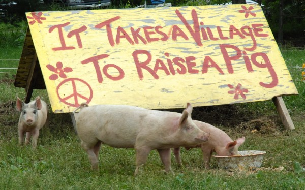 Three pigs have attained celebrity status in Allagash, where residents stop by regularly to check on them and feed them scraps.
