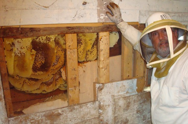 Peter Cowin with a colony established only two months ago in the wall of a barn in Orono. With most of the bees removed, the combs are ready to be cut out.