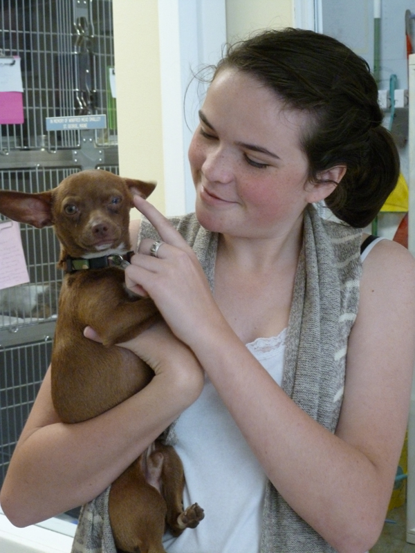 Bethany Schulberg, 17, of Thomaston, held Flash, a chihuahua who was sent to the Humane Society of Knox County this week from a shelter in California. The California shelter is so inundated with the small dogs it euthanizes them. The 16 sent to Thomaston instead sell for $325, which pays for the dog and pays for another chihuahua to get sent to Maine this fall.
