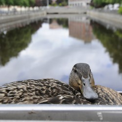 Bangor police officer saves stranded mother duck, eight ducklings near Bangor Mall