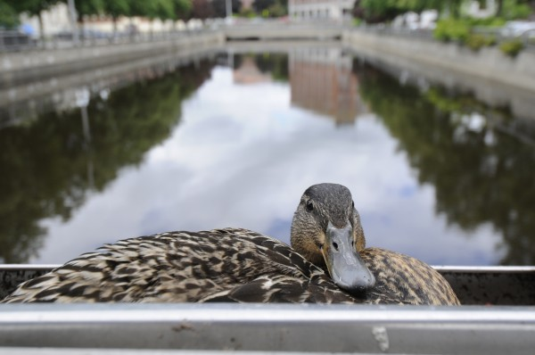 A female mallard keeps her ducklings warm and protected in her recently established nest in a plant box mounted on side railing of the lower Kenduskeag footbridge between Pickering Square Parking garage and Bank of America in downtown Bangor Wednesday, June 6, 2012. Her clutch of eggs hatched earlier this week.