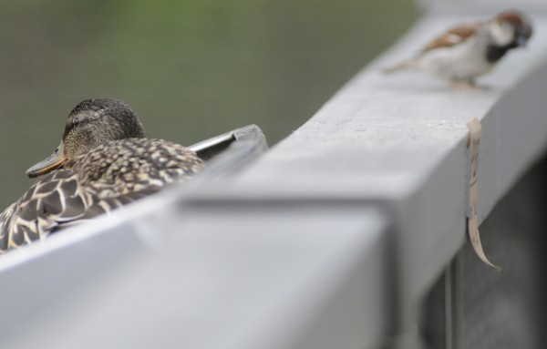 A female mallard keeps her ducklings warm and protected in her recently established nest in a plant box mounted on side railing of the lower Kenduskeag footbridge between Pickering Square Parking garage and Bank of America in downtown Bangor Wednesday, June 6, 2012.