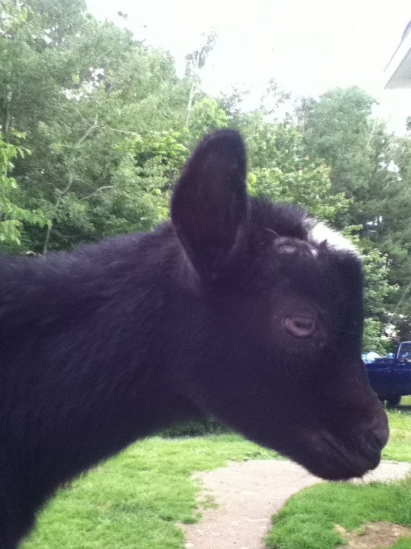 Boomer, a 3-month-old pet goat of the Rice family in Etna. The goat was run over by a postal service driver on Wednesday.