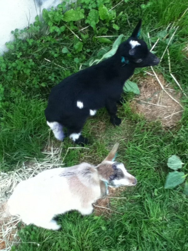 Boomer (top), a 3-month-old pet goat of the Rice family in Etna, stands next to his brother, Nougat. Boomer was run over by a postal service driver on Wednesday