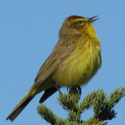 Listen for songs, one bird species at a time