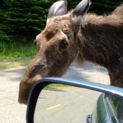 moose accident