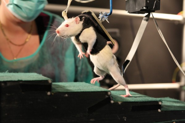 In this undated photo provided by the Ecole Polytechnique Federale de Lausanne, a previously paralyzed rat in a special harness walks voluntarily after several weeks of rehabilitation in a laboratory in Switzerland. In the new experiment reported in the Friday, June 1, 2012 issue of the journal Science, researchers led by Gregoire Courtine, of the University of Zurich and the technical university EPFL in Lausanne, Switzerland, stimulated spinal nerve circuits and used physical training. The stimulation was electrical current from implanted electrodes plus injections of a chemical mix, helping the rodents overcome paralysis to walk and climb stairs.