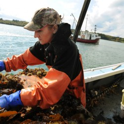 Maine sea urchins making a slow recovery