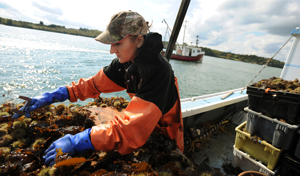 Sternman Daphne Savage sorts sea urchins while working the waters of Cobscook Bay near Lubec on the first day of the 2009 urchin season.
