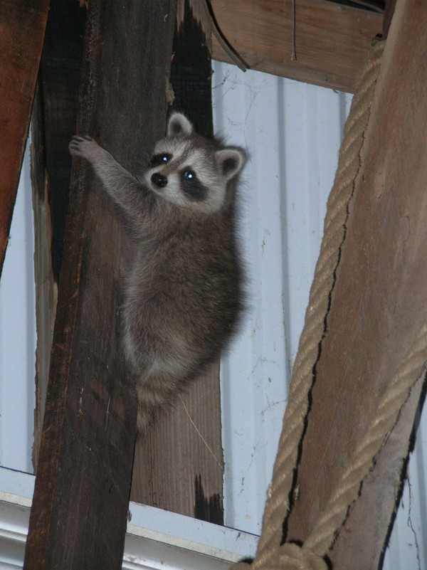 Michael the raccoon in his temporary barn home.