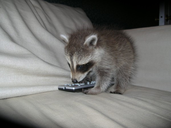 Michael the raccoon plays with the TV remote.