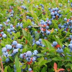 Fresh Maine Wild Blueberries will be available throughout the state beginning in early August.