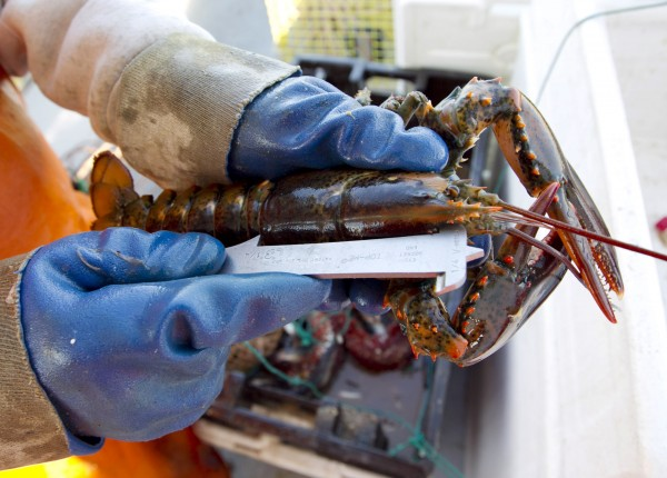 A lobster is measured in May to see if it is of legal size, on a boat off Mount Desert, Maine. An early shedding season has brought a bounty of lobster to Maine lobstermen.