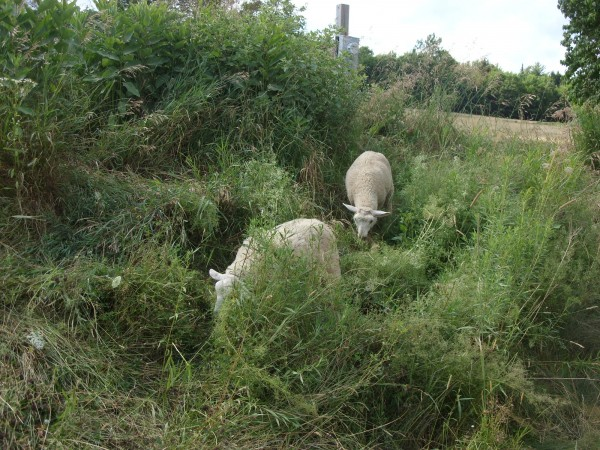 Two sheep eat their way down a slope at The Heirloom Garden of Maine in Montville.