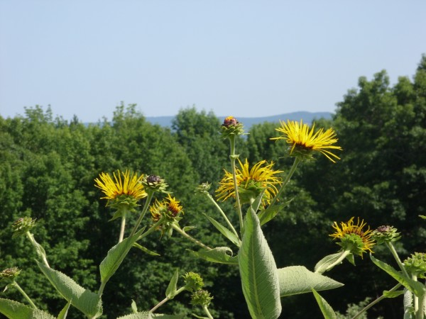 Elecampane frames the view from The Heirloom Garden of Maine in Montville.