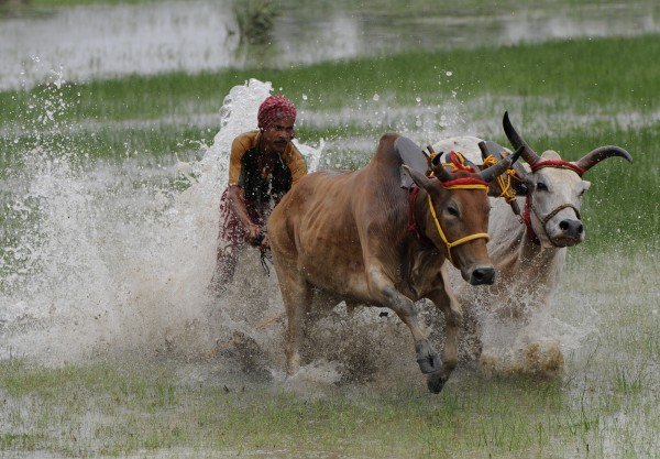 A contestant guides a pair of bulls during a bull race at a paddy field at Canning, on the outskirts of Kolkata, India, on Sunday, July 29, 2012. Winners of the race are rewarded with prizes such as bicycles, brass pitchers, and radio sets. Farmers also participate with the belief that taking part in the race before ploughing their fields will bring good rain and prosperity to their families.