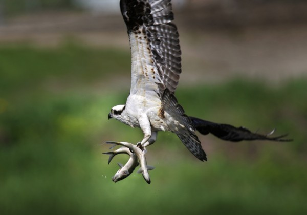 An osprey flies away with two alewives plucked from the waters below the Damariscotta Mills Fish Ladder in Nobleboro, Maine.
