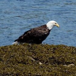 A bald eagle perches on a ledge and enjoys a snack.