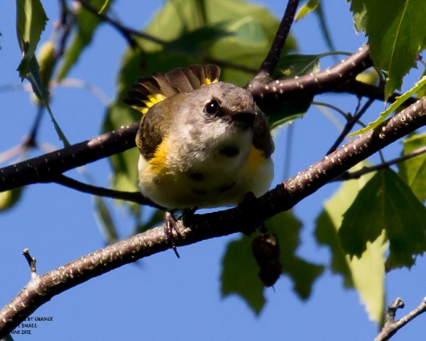 An immature male American redstart.