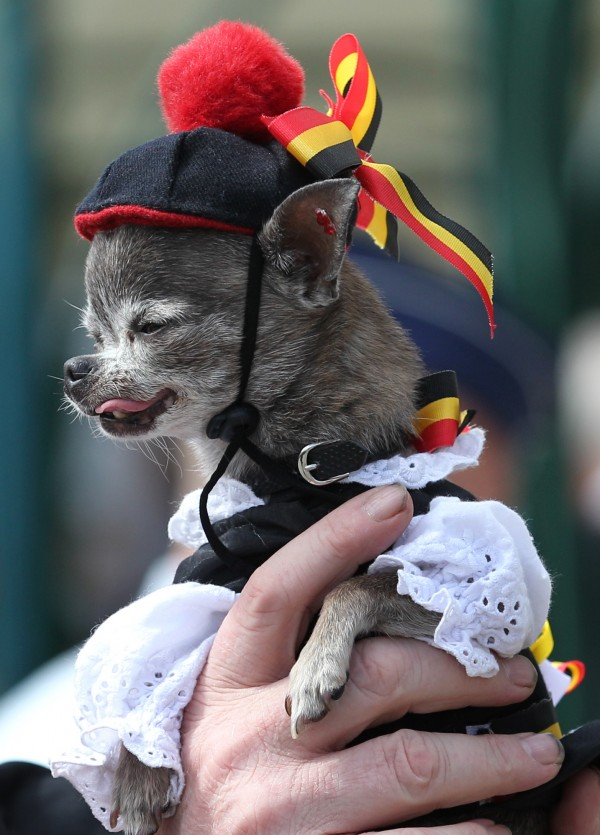 A chihuahua dog named Miss Chiwa, is dressed up in Belgium's tricolor, during the parade for the national day in front of the Royal Palace in Brussels, Saturday, July 21, 2012.