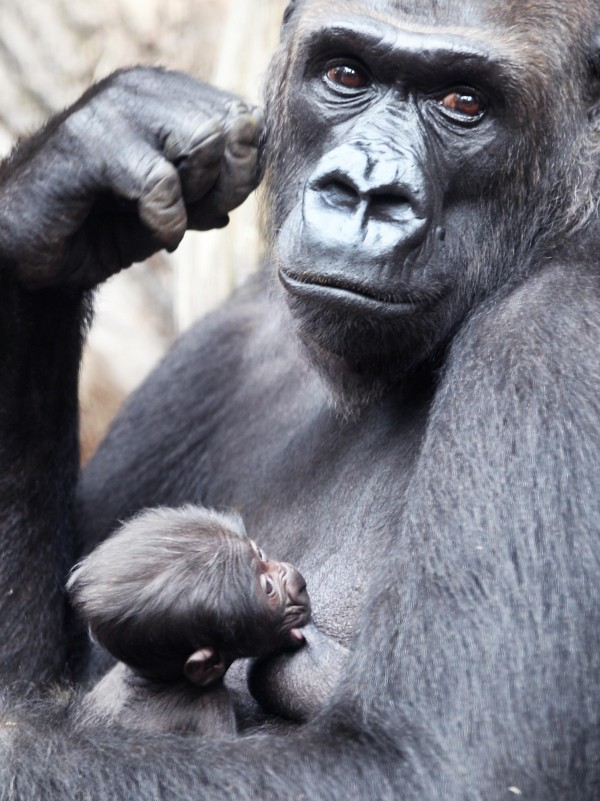A 3-day-old baby gorilla drinks from the breast of its mother Rebecca in Frankfurt Zoo, Germany on Friday, July 13, 2012. The gender and name of the Low Highland Gorilla baby are still unknown.