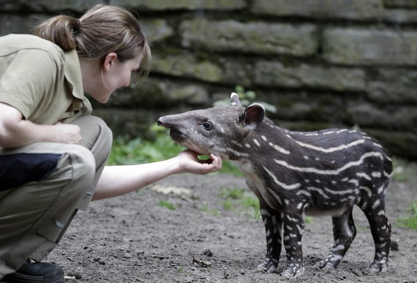 Zookeeper Lena talks to a newborn Tapir cub during its first walk in the outdoor enclosure at the zoo in Duisburg, Germany on Friday, July 6, 2012.