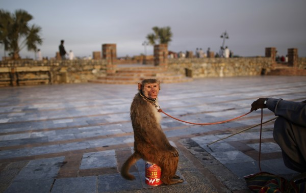 A trained monkey looks back while sitting on a can next to his owner as they wait for customers to perform to in a park in Islamabad, Pakistan on Wednesday, July 11, 2012.