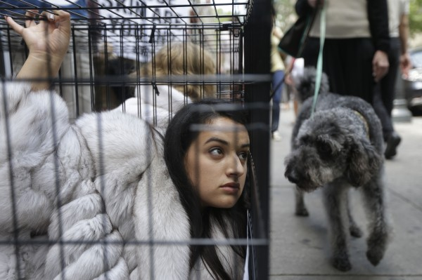 A dog looks on as Alejandra Mendoza, a member of People for the Ethical Treatment of Animals, or PETA, protests from an animal cage outside Jacques Ferber Furs on Wednesday, July 11, 2012, in Philadelphia. The animal-rights organization is known for its staunch position against the use of fur, leather, wool, and other animal-based clothing.
