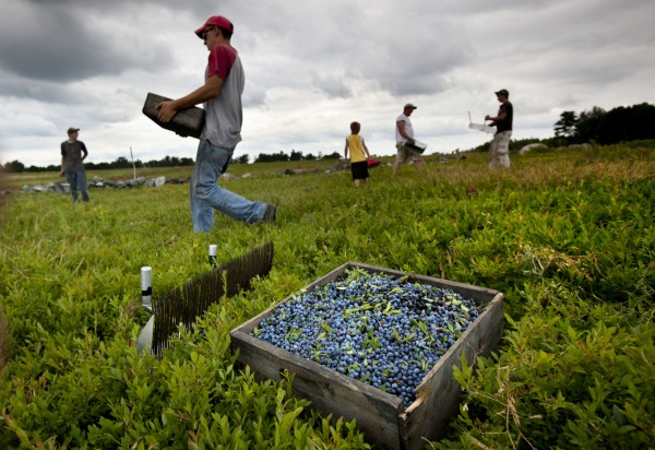 Workers harvest wild blueberries at the Ridgeberry Farm in Appleton on July 27. Maine is the country''s top wild blueberry state.