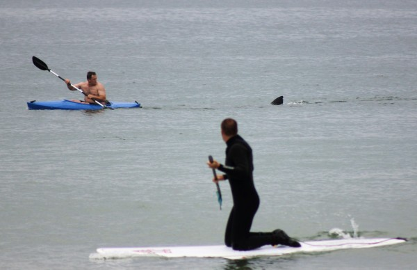 Walter Szulc Jr. (in kayak at left) looks back at the dorsal fin of an approaching shark at Nauset Beach in Orleans, Mass. in Cape Cod on Saturday, July 7, 2012. An unidentified man in the foreground looks towards them. No injuries were reported