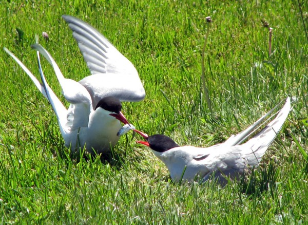 Arctic terns are usually the toughest to spot from shore, although they are abundant around their nesting colonies.
