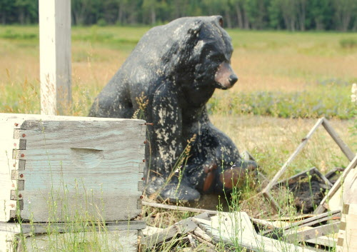 Bears love honey. Even ceramic bears. This bruin is a lawn ornament that marks the 150 acres of wild blueberry barrens being tended in Columbia by Tom Worcester.