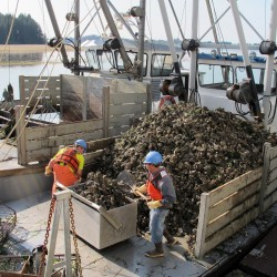 Manmade oyster bed set to rescue NH's Great Bay