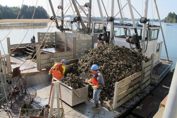 The owners of Goose Point Oysters have been raising oysters in Willapa Bay since the mid-1970s but recently opened a hatchery in Hawaii because ocean acidification made it harder to raise oysters in the Northwest. (Brian J. Cantwell/Seattle Times/MCT)