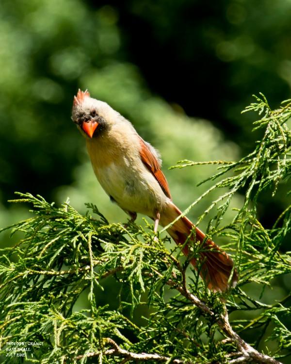 A female cardinal.