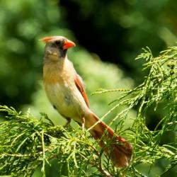A juvenile cardinal