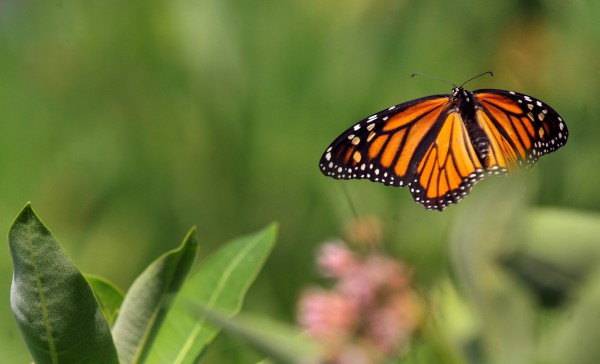 A monarch butterfly takes to the air.