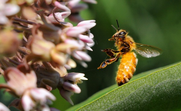 A honeybee tangled in strand of spider web on a milkweed.