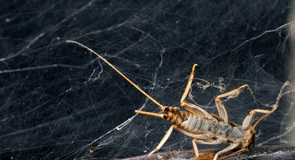 A stonefly shell tangled in spider web.