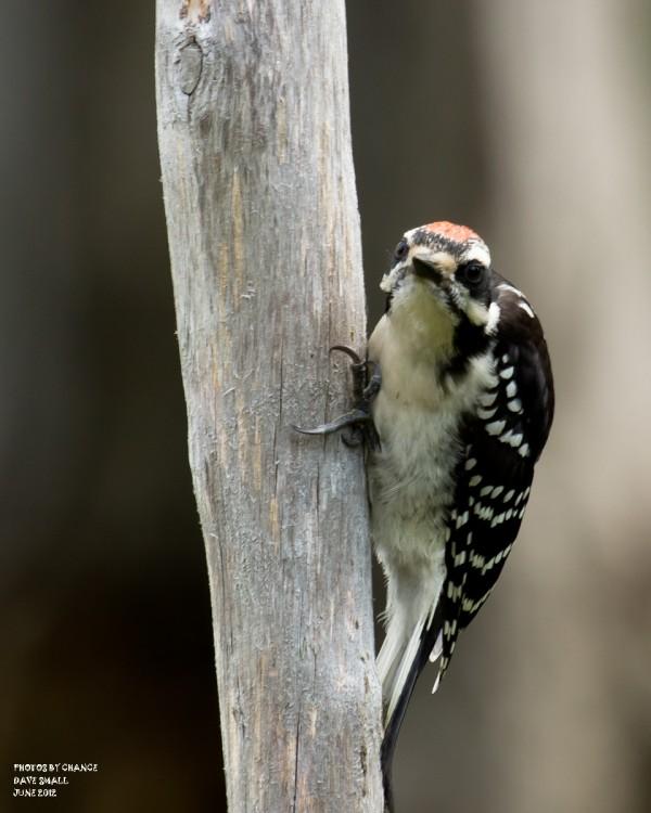 A hairy woodpecker.