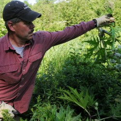 """""""I hate invasive species"""" said Ronald Lemin, a vegetation management consultant seen here lopping off the seed head of a giant hogweed plant along a tributary of the Kenduskeag Stream in Bangor on Tuesday."""