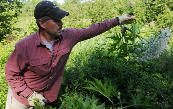 &quotI hate invasive species&quot said Ronald Lemin, a vegetation management consultant seen here lopping off the seed head of a giant hogweed plant along a tributary of the Kenduskeag Stream in Bangor on Tuesday.