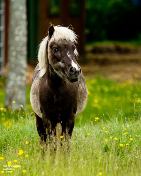 A miniature horse.