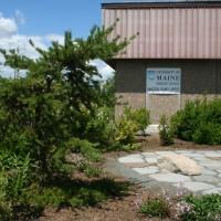Maine conifers resist deer advances
