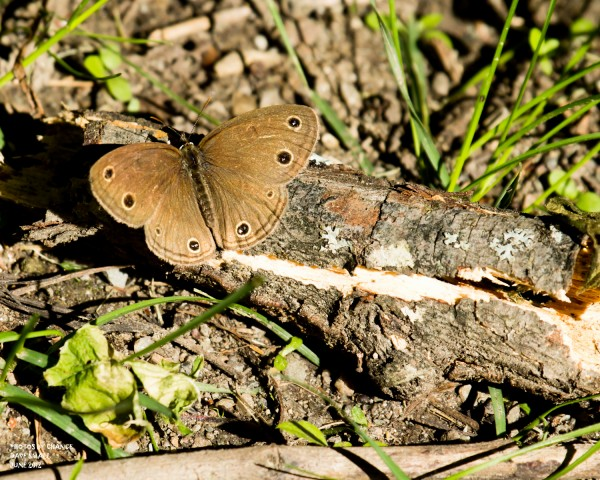 Butterflies were plentiful. Here's a little wood satyr.
