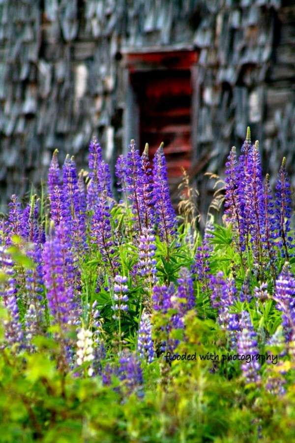 Lupins in Belfast - Jess Flood