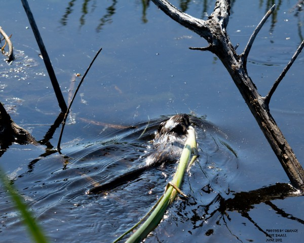 A muskrat tows a reed across the marsh.