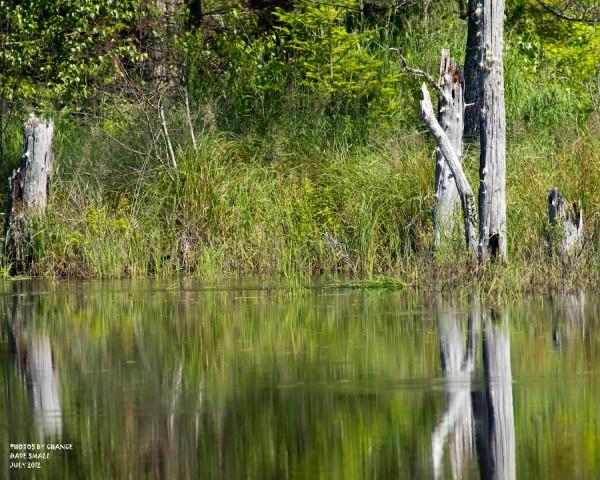 A muskrat tows its reeds.