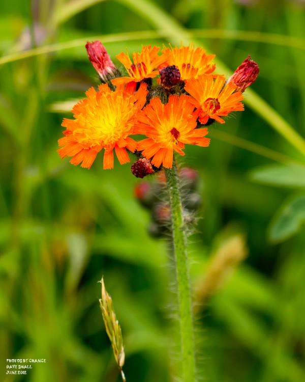 Colorful orange hawkweed.