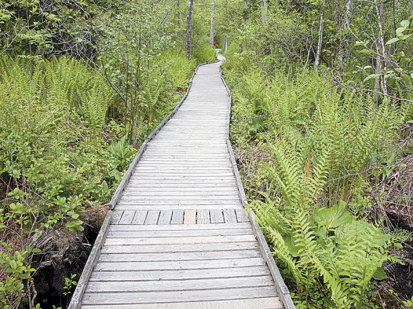 "Nature lovers walking along the 4,200-foot Orono Bog Boardwalk first pass through a ""lagg,"" a natural drain channel where cinnamon ferns and skunk cabbages grow alongside the boardwalk."